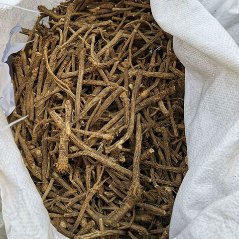 Сапожниковия растопыренная, корень
