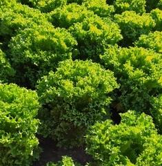 Фриллис семена салата листового (Seminis / Семинис)