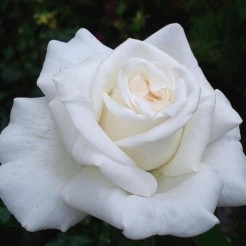 Роза чайно-гибридная  Ломоносов С3