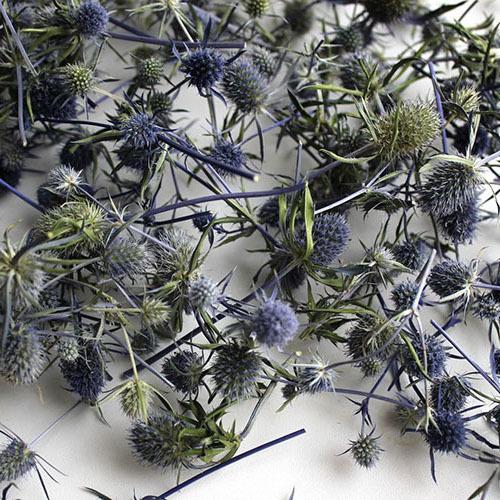 Травы Синеголовник (Эрингиум) eryngium-529.jpg
