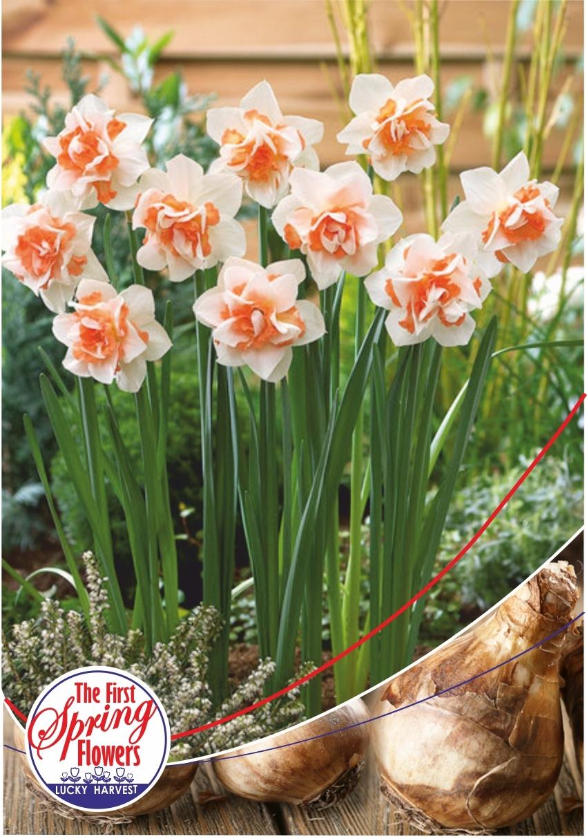 Луковицы Нарцисса махрового Replete  (Реплет )  Jan de Wit en Zonen B.V. количество в упаковке 1 луковица