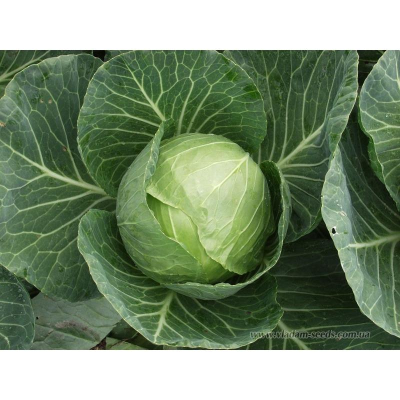 Белокочанная Сир F1 семена капусты белокочанной (Clause / Клос) Сир_F1.jpg