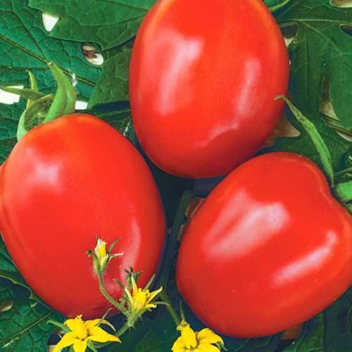 Nunhems Фоккер F1 семена томата детерминантного (Nunhems / Нюнемс) 20_D0_A4_D0_BE_D0_BA_D0_BA_D0_B5_D1_80-500x5001.jpeg