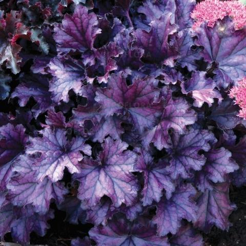 Насыщенно-фиолетовая солнцестойкая гейхера