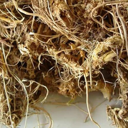 Травы Синюха голубая (Полимониум), корень polemonium-root-535.jpg