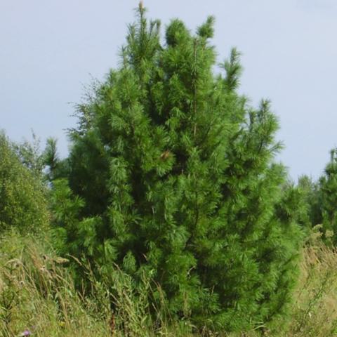 Сосна кедровая сибирская С2 15-20