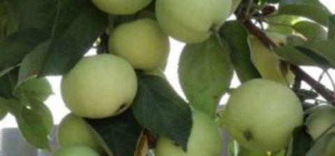 Яблоня летняя Папировка (2-летняя) семен. подвой ЗКС