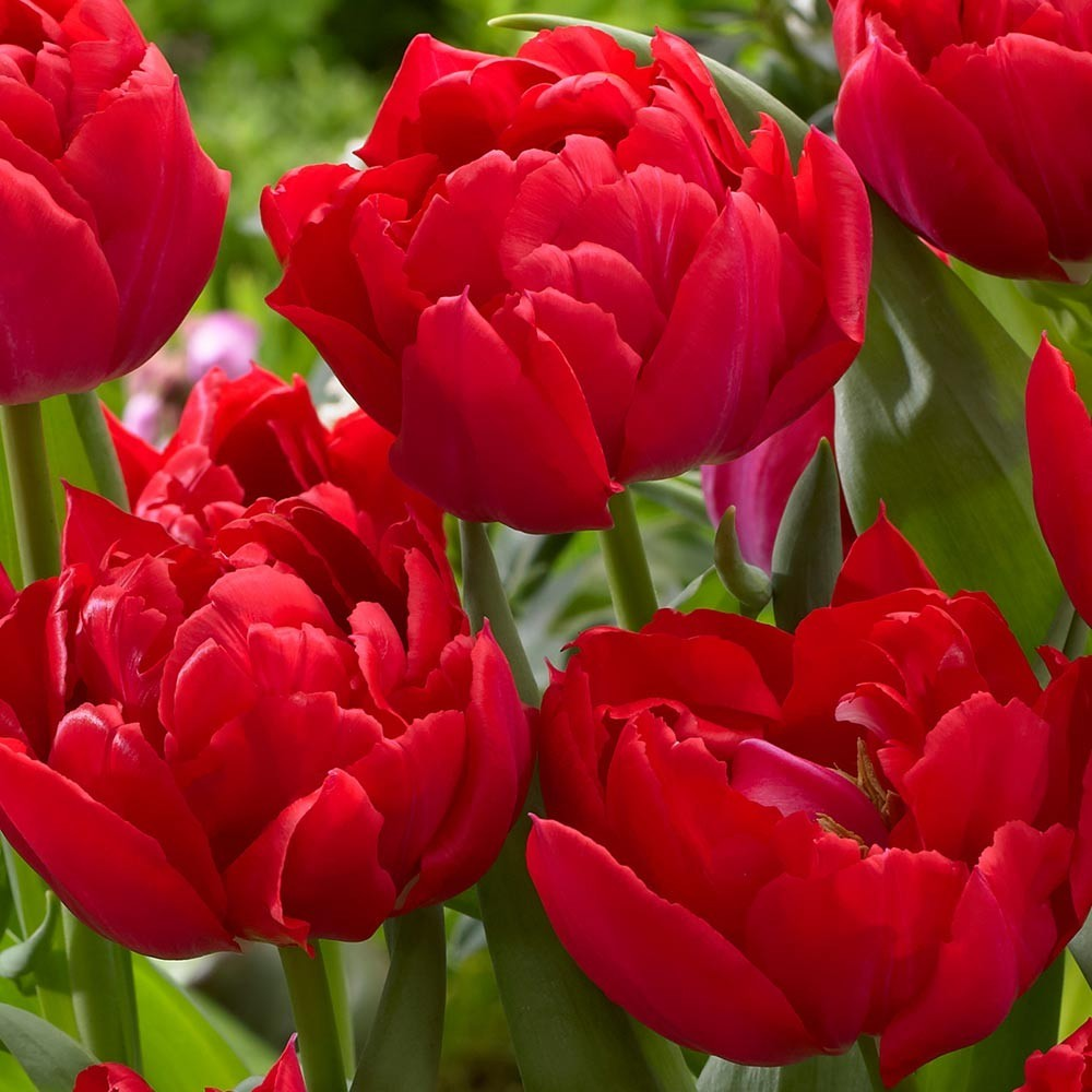 Тюльпан махровый ранний Абба