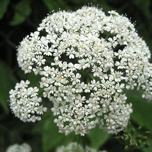 Травы Сныть обыкновенная aegopodium-544.jpg