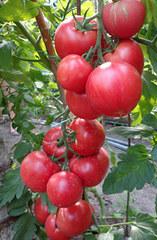 Пинк Клейр F1 семена томата индетерминантного (Hazera / Хазера)