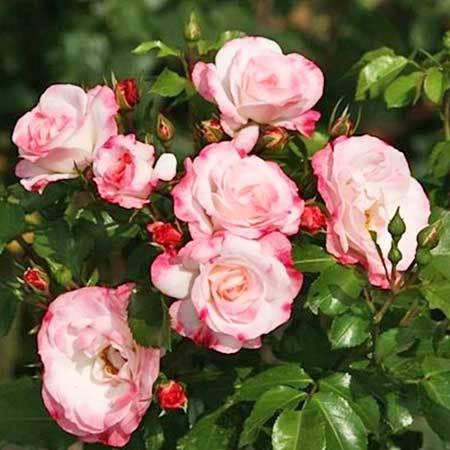 Роза плетистая Rosenstadt Freising