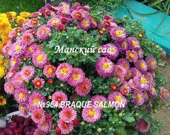 Хризантема мультифлора (шаровидная) Braque Salmon №964