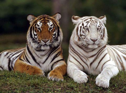 Алмазная Мозаика + Багет 40x50 Два разных тигра