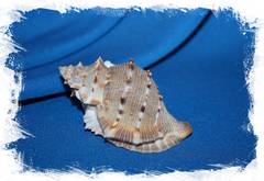 Буфонария крумена (Bufonaria crumena)