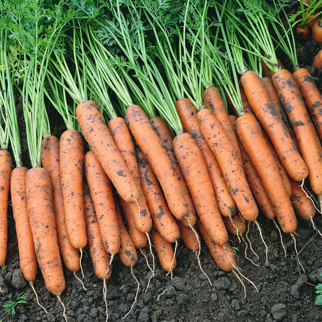 Bejo Cемена моркови, Самсон, Bejo, 1 гр. Самсон.jpg
