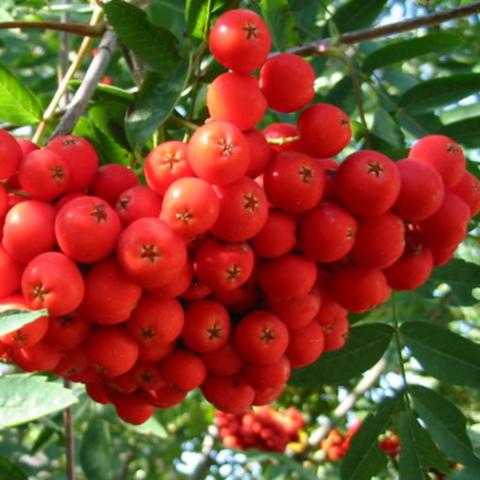 Рябина плодовая Невежинская (2-летняя) ОКС