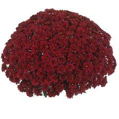 Хризантема мультифлора  Sunbeam Red N 2093