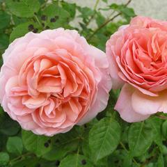 Купить Роза английская Абрахам Дерби Abraham Darby