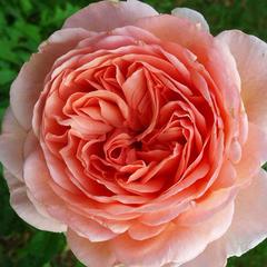 Заказать роза английская Абрахам Дерби Abraham Darby