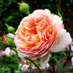 Роза английская Абрахам Дерби Abraham Darby