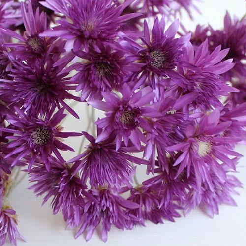 Травы Сухоцвет однолетний xeranthemum-564.jpg