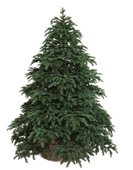 Triumph tree ель Нормандия 2,60 м темно-зеленая