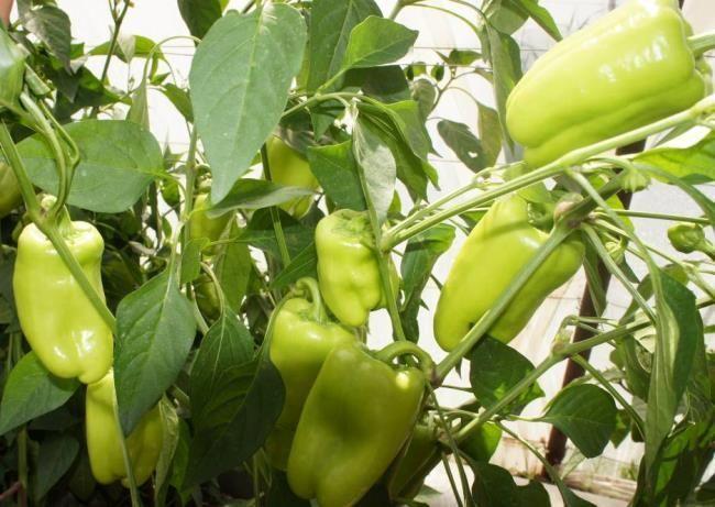 Перец Джейд F1 семена перца сладкого (Sakata / Саката) Джейд_F1_семена_овощей_оптом.jpg