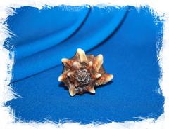 Обрубленный мурекс (Hexaplex trunculus)