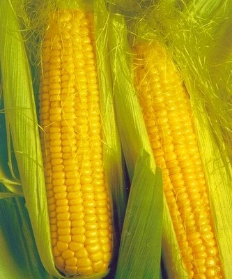 Seminis Челл F1 семена кукурузы (Seminis / Семинис) Челл.jpg