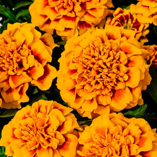 Семена цветов Семена цветов Бархатцы отклоненные Супер Хироу Оранж, Benary, 15 шт. Семена-цветов-Бархатцы-отклоненные-Супер-Хироу-Оранж.jpg