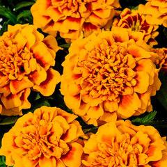 Семена цветов Бархатцы отклоненные Супер Хироу Оранж, Benary, 15 шт.
