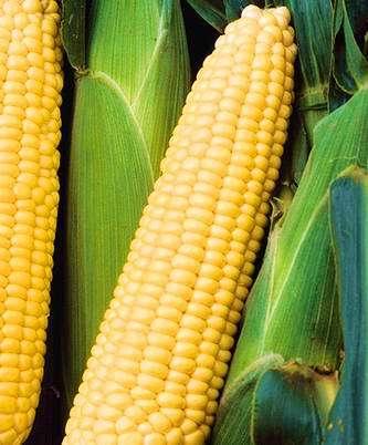 Seminis Шеба F1 семена кукурузы (Seminis / Семинис) Шеба.jpg