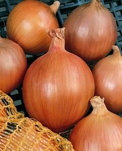 Репчатый Бургос F1 семена лука репчатого (Vilmorin / Вильморин) БУРГОС_F1.jpg