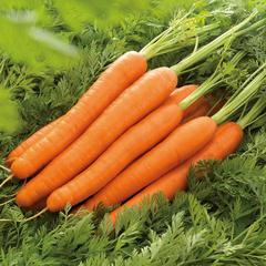 Лагуна F1 семена моркови нантской (Nunhems / Нюнемс)