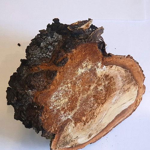 Травы Трутовик берёзовый piptoporus-584.jpg