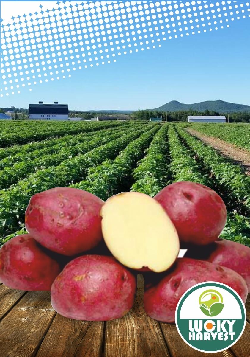 Семенной картофель   ФЛАМЕНКО   ТМ LUCKY HARVEST (Украина)