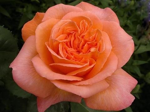 Роза чайно-гибридная Рене Госинни (в тубе)