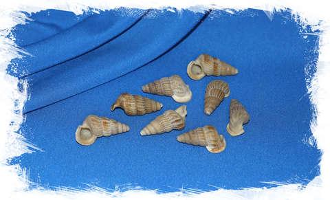 Церитидея обтуса (Cerithidea obtusa) уп. 250 мл.
