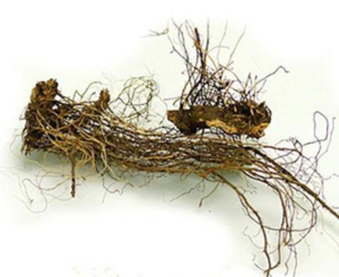 Левзея сафлоровидная (маралий корень)