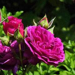 Заказать Роза Перпл Лодж Purple Lodge