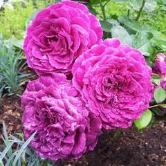 Роза Перпл Лодж Purple Lodge