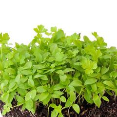 Семена для проращивания петрушки Арлекино (Гавриш)
