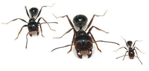 Муравьи-жнецы для муравьиной фермы