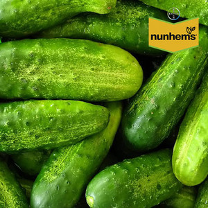 Nunhems Профи F1 семена огурца пчелоопыляемого (Nunhems / Нюнемс) Профи_F1.jpg