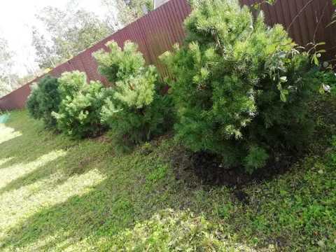 Живая изгородь из сосны обыкновенной в питомнике Фавн