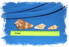 Ракушки Конус Инскриптус (Conus inscriptus) размер
