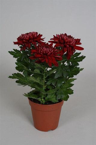 Хризантема Зембла красная
