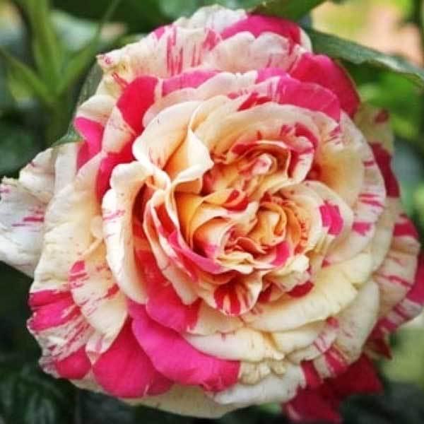 Роза плетистая Ванилла Фрайз Vanille Fraise Северный огород