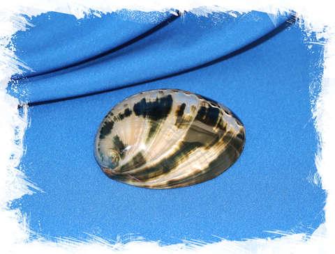 Галиотис крачеродии (Haliotis cracherodii) полированный 8,4 см.
