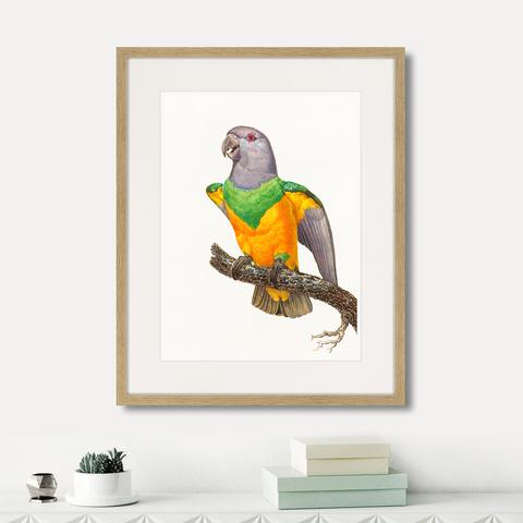 Джон Гульд - Beautiful parrots №8, 1872г.